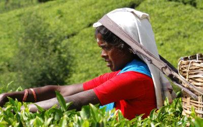 Sri Lanka. Wyjazdy na wyspę pachnąca orientem