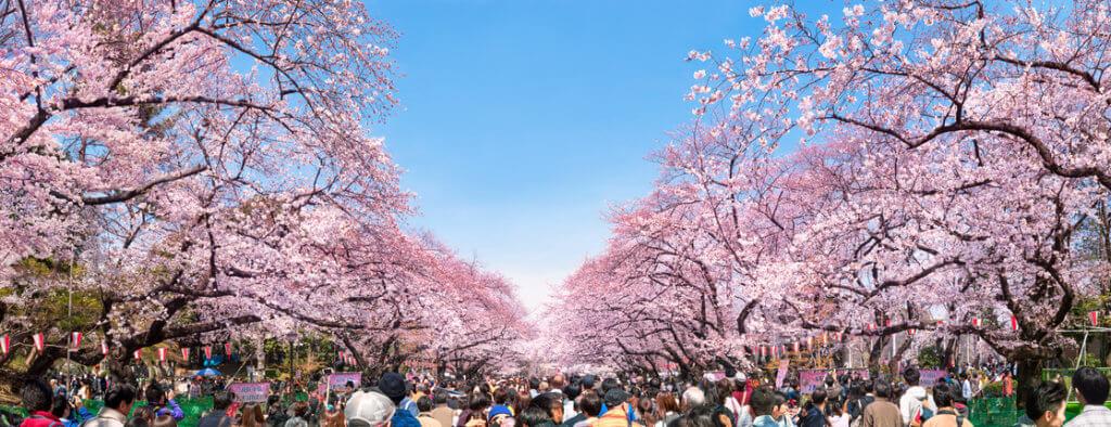 festiwal kwitnącej wiśni