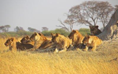 Luksus i przygoda oko w oko z lwem, czyli safari w wersji incentive travel